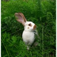 Продам кроликів живою вагою