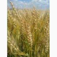Насіння озимої пшениці Чорнява, урожайність 100-120 ц/га