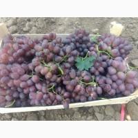 ФГ «Потейт-Арго» реализует столовый виноград оптом сорт «Шоколадный» 25 тонн