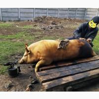 Домашню Свиню, свинину, м#039;ясо до паски на сальце та ковбаски