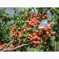 Саженцы абрикоса на подвое алыча из собственного питомника
