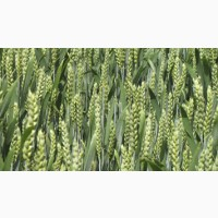Пшеница Rebell / Ребелл - (R.A.G.T. Франція), 1 репродукция с документами, Агротрейд