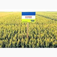 Пшениця Атлон 1 репродукція