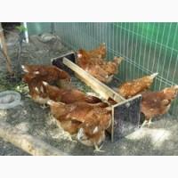 Реализуем инкубационные яйца Ломан браун