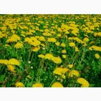 Одуванчик (цвет) 50 грамм