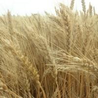 Продам насіння озимої пшениці сорту Шестопалівка 1-Р
