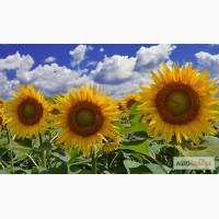 Насіння соняшнику Атілла (95 – 100 дн.) Гібрид