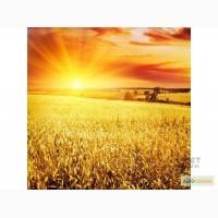 Продаем ячмень, пшеницу, горох на экспорт Sell wheat, corn FOB Black Sea