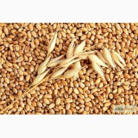 Куплю пшеницю ІІ, ІІІ клас