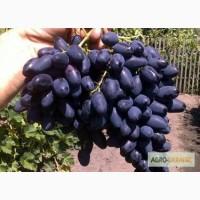 Саженцы Винограда сорт Атос