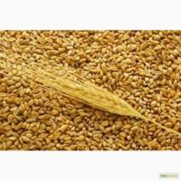 Закупаем пшеницу по Украине дорого