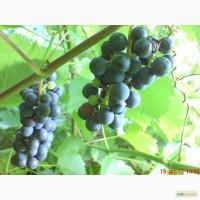 Куплю технический виноград Мерло, Каберне, Совиньон, Шардоне, Сира и др. 500 - 5.000 кг