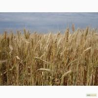 Новая озимая пшеница Мирлена