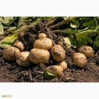 Куплю картофель от 10 тонн в Львовской и Волынской областях