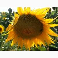 НК «ГРАН» пропонує гібрид соняшнику Осман ІМІ