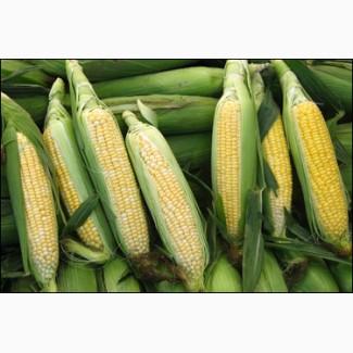 Крупно-оптовая закупка Кукурузы Фуражной.Есть самовывоз