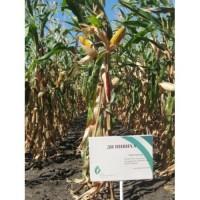 Продам семена кукурузы ДН Пивиха