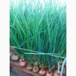 Зелена цибуля (зелёный лук). Перо зеленої цибулі. ОПТ
