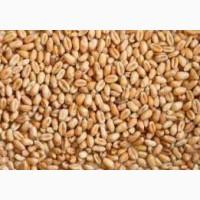 Семена пшеница двуручка сорт Леннокс