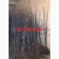 Продам саджанці яблуні на підщепі М-9, ММ-106 різних сортів оптом