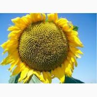 Семена сортового подсолнечника Казачий
