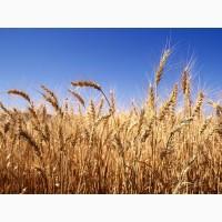 Підприємство закуповує за високими цінами пшеницю всіх класів