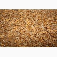 Проблемная пшеница куплю