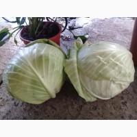 Продам середню капусту