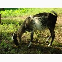 Продам пятимесячных нубийских козликов