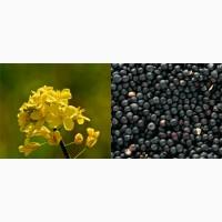 Пропонуємо насіння озимого ріпаку/ доставка БЕЗКОШТОВНА