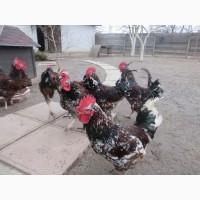 Ливенские ситцевые, орпингтоны. Подрощенные цыплята