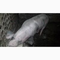 Продам свиноматку петрен