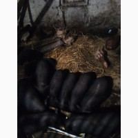 Продам поросят і свиноматок породи вєтнамська на розплід чи на мясо