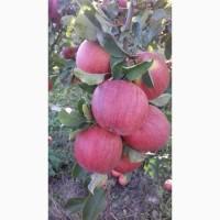 Продам оптом яблука із власного саду