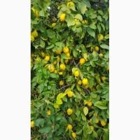 Лимоны_от производителя в турции
