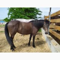 СРОЧНО Продам коней породы украинская верховая