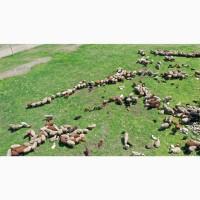 Овцы ягнята продам овец продам ягнят