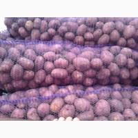 Продам 45 тонн картофеля