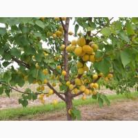 Продам саджанці абрикоси на підщепі алича з власного розсадника. ОПТ