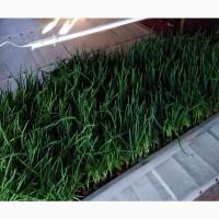 Продам зеленый лук (перо) штутгарт