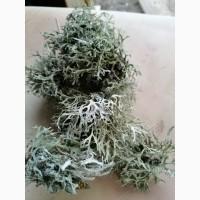 Пармелия мох