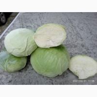 Куплю капусту от 2 до 6 кг и выше Голупцовые сорта