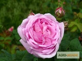 Купить саженцы чайной розы в украине доставка цветов по жлобину