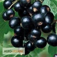 Саженцы черной смородины, крупноплодние и засухоустойчивие сорта