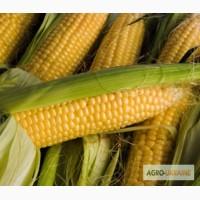 Продам семена кукурузы Солонянський 298 св