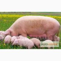 Продам поросних свиноматок