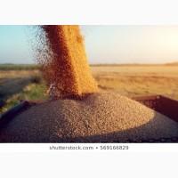 СРОЧНО продам пшеницу фуражную на экспорт от производителей и поставщиков