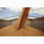 Предприятие закупает с.х. культуры ОПТОМ (кукуруза, пшеница, подсолнечник и др.)