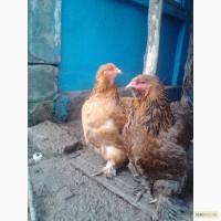 Продам инкубационные яйца