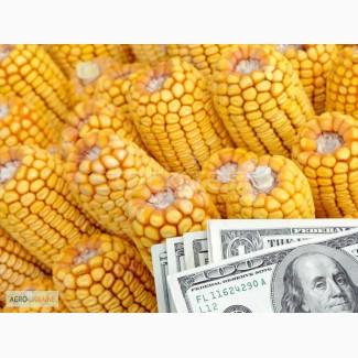 Закупаем любую кукурузу по Украине, расчет на весах